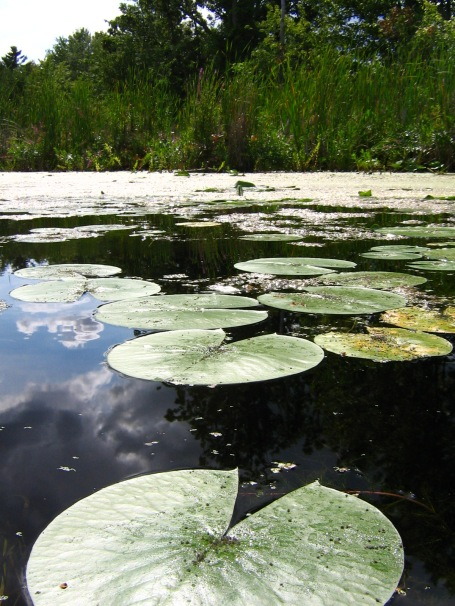 Lilypads on the water.